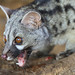 Genets - Photo (c) Mario Madrona, some rights reserved (CC BY-NC-SA)