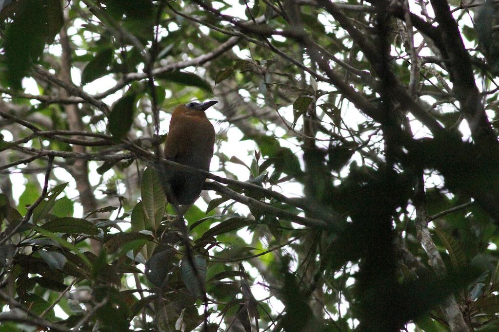 Capuchinbird (Perissocephalus tricolor)