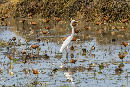 African Great Egret (Ardea alba melanorhyncha) | by Allan Hopkins