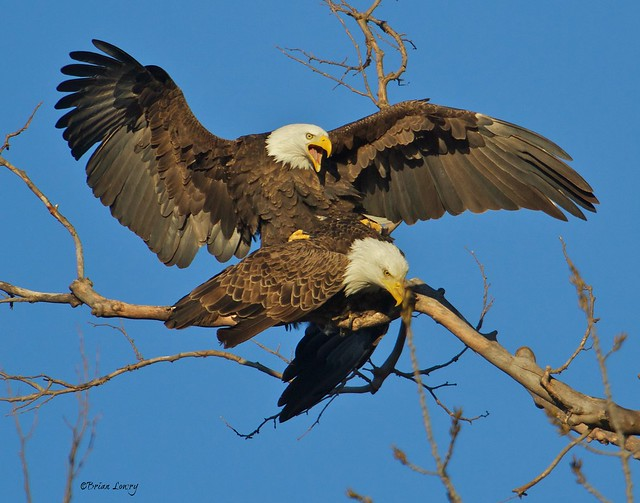Bald Eagles mating in morning light