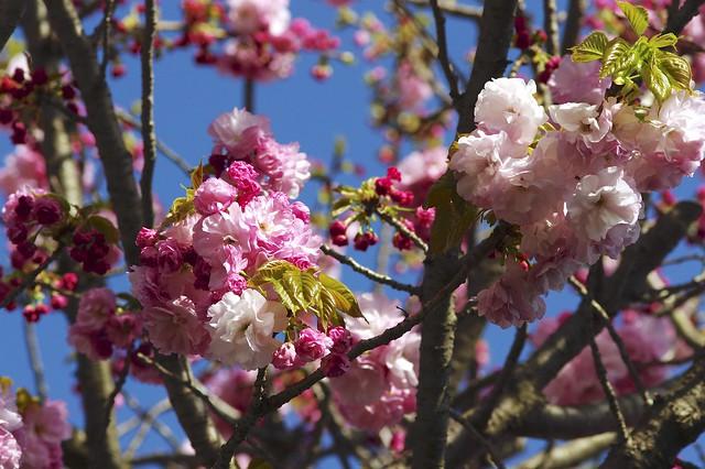 八重桜 ( Double flowering cherry tree )