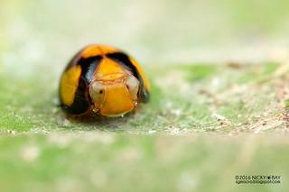 Pill-like planthopper (Hemisphaerius sp.) - DSC_6740
