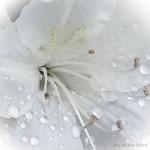 White Azaleas in the rain