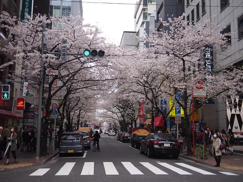The bloom of cherry blossoms of Yaesu Sakura Street