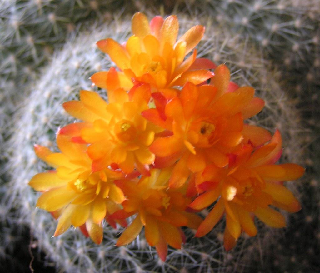 Pianta Fiori Arancioni.Fiori Arancioni Della Pianta Grassa Moreorless Flickr
