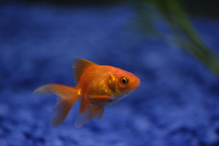 Derek the goldfish | by Andrew Pescod