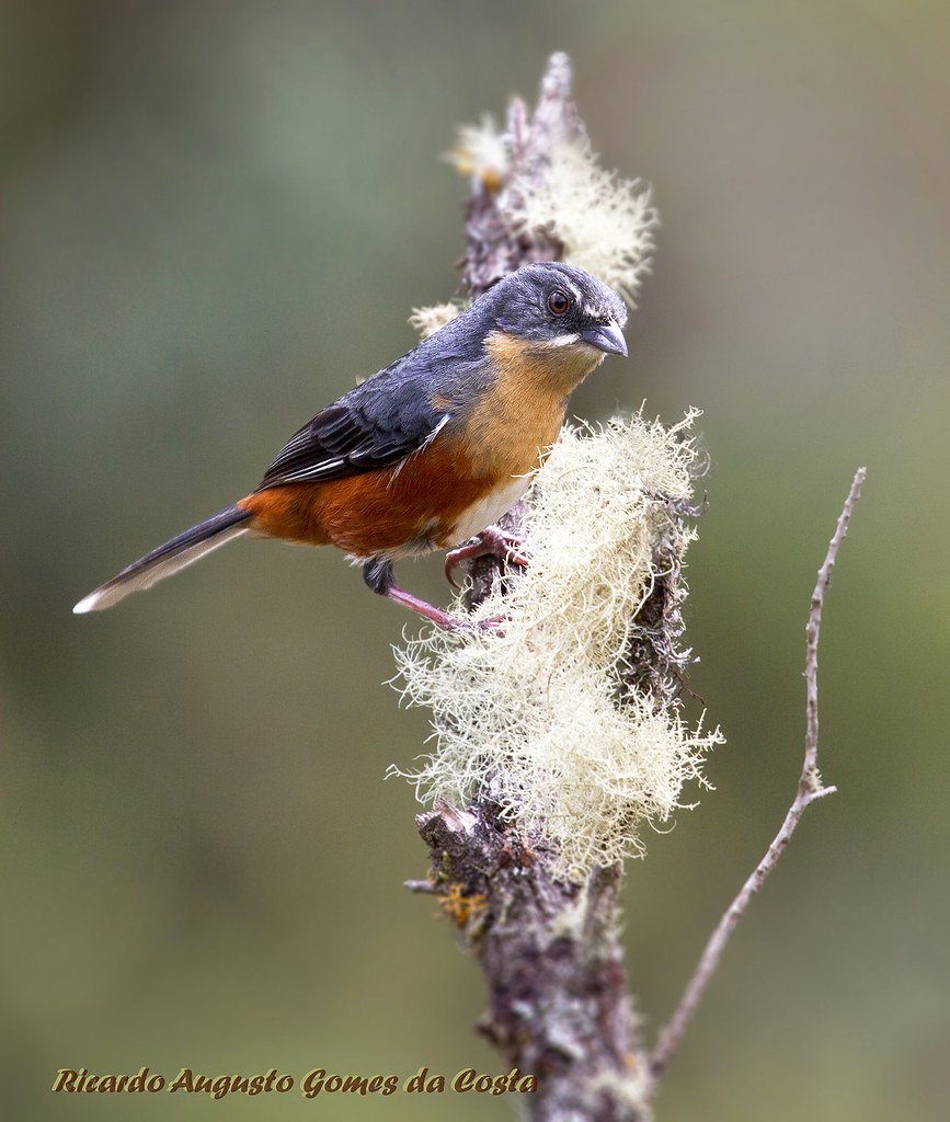 """Poospiza lateralis"" (Quete) Buff-throated Warbling-Finch  _Parque Nacional de Itatiaia_ Itamontes_MG_Brasil"