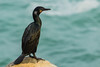 Brandt's Cormorant (Phalacrocorax penicillatus) in Breeding - La Jolla, CA by bcbirdergirl