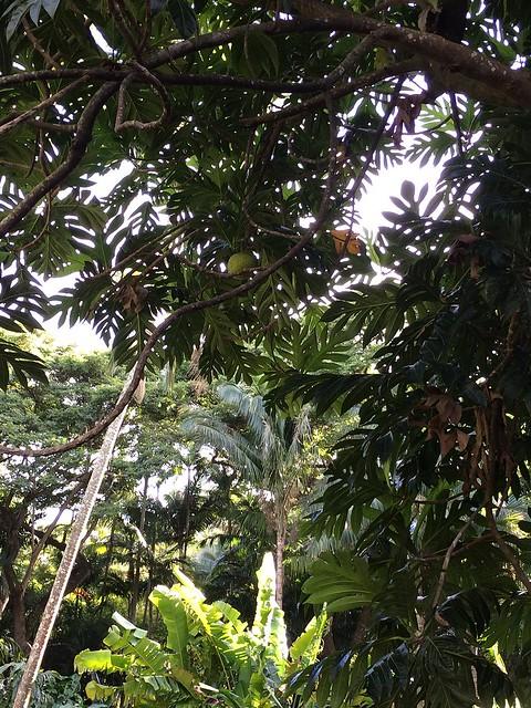 Breadfruit trees at Allerton Garden