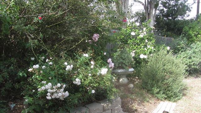 IMG_8200 white pet area roses