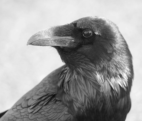 Raven | by Carl T. Bergstrom