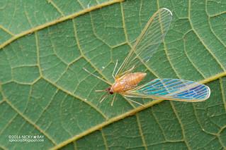 Derbid planthopper (Derbidae) - DSC_6287