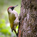 Green Woodpecker - Photo (c) hedera.baltica, some rights reserved (CC BY-SA)
