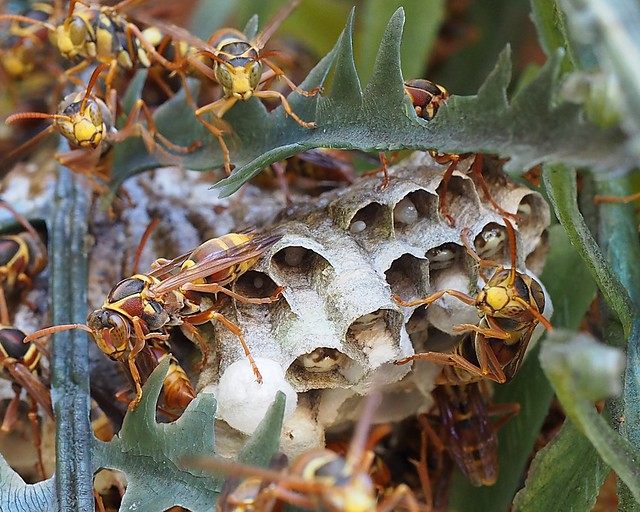 Paper Wasps guarding their eggs and larvae - SE Qld