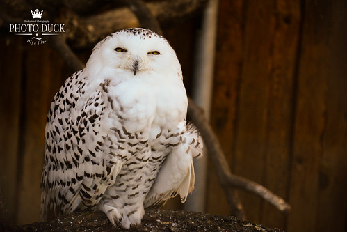 Snowy owl | by Iliya's Films