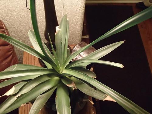 Pineapple | by hawken.carlton