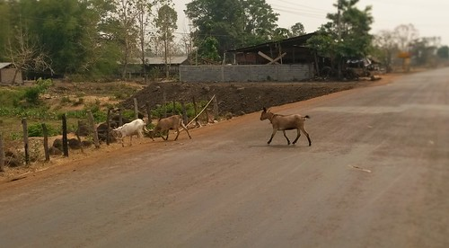 A goat on the road of Thateng