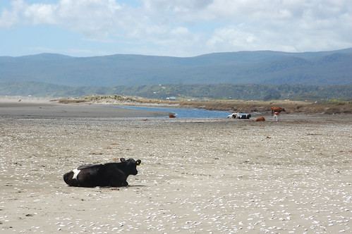 Cows at the Beach in Cucao, Chiloé, Chile | by blueskylimit