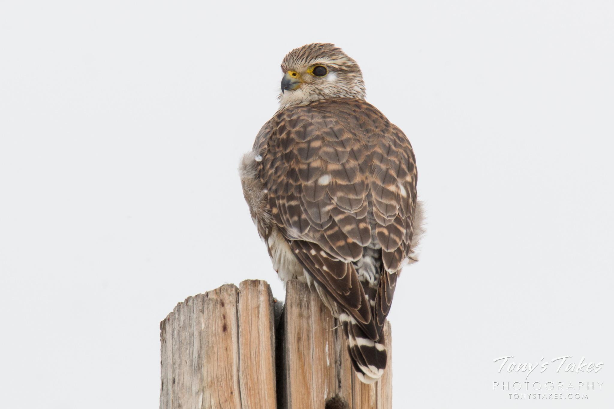 A Merlin keeps watch in Adams County, Colorado. (© Tony's Takes)