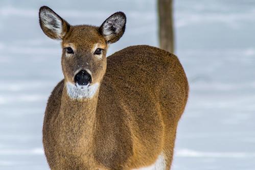 park winter snow newyork landscape outdoors us unitedstates wildlife mendon deer honeoyefalls