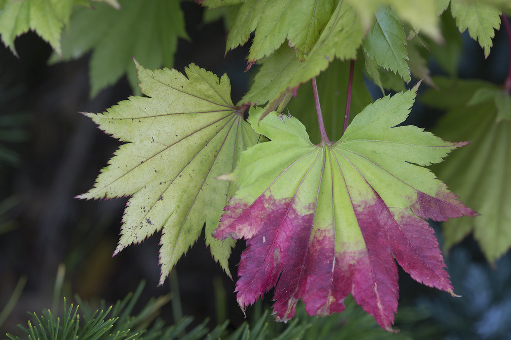 Early Colour Change In Autumn Leaves Acer Shirasawanum Au Flickr