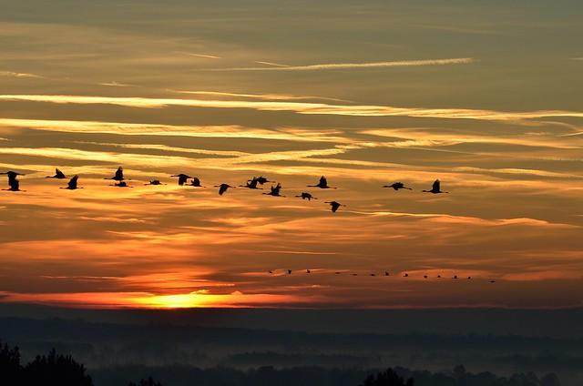 Vol de grues cendrées au lever du soleil - Explored !