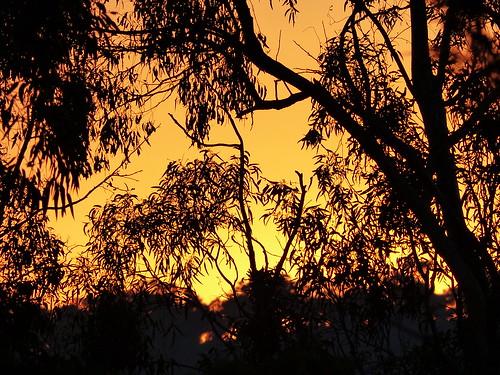 light sunset tree silhouette gum melbourne eucalypt