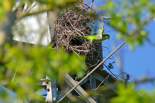 Monk Parakeet (Myiopsitta monachus) leaving its nest ... | by berniedup