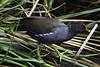 Common Gallinule (Gallinula galeata) by cv.vick