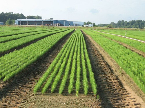 Photo of loblolly pine seedlings being grown at a nursery