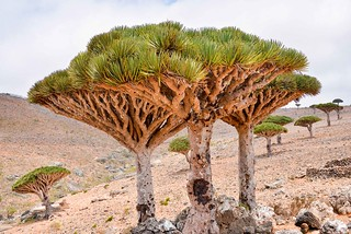 Dragon's Blood Trees, Socotra Is. | by Rod Waddington