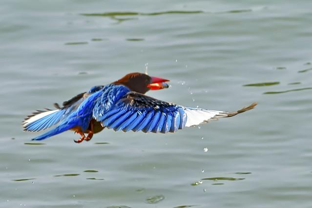 White-breasted Kingfisher Flying on LuLake
