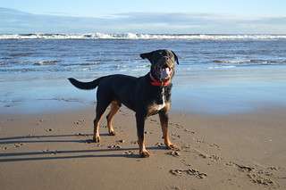 Rottweiler on Crimdon Beach | by ZoqyPhoto