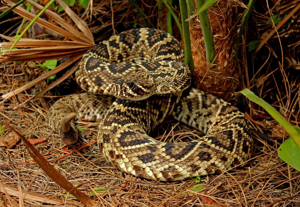 hadí ocas