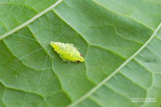 Planthopper nymph (Kallitaxila cf. granulata) - DSC_8608