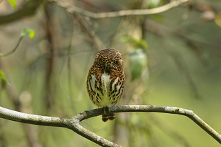 鵂鶹  Collared Owlet (Collared Pygmy Owl) | by Hiyashi Haka