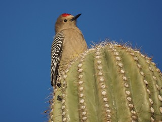 Gila Woodpecker | by Mike's Birds