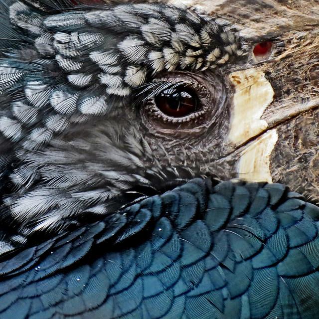 Hornbill (3) close up