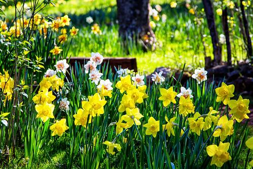 daffodilhill sierraspringsphotography karenschmautz