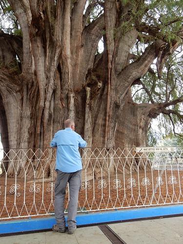 El Tule - grote boom - 2