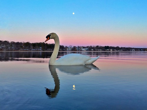 massachusetts wildlifewednesday swimming symmetry iphoneography iphone6s blue serene fullmoon beautiful pw wildlife hornpond iphone swan pink bird mobile animal ma newengland sunset floating moon reflection calm woburn bluehour boston dusk water pond puestadelsol pajaro luna lunallena cisne thephotographersephemeris tpe lowangle lowperspective lowlight atardecer reflections wow throughherlens birds