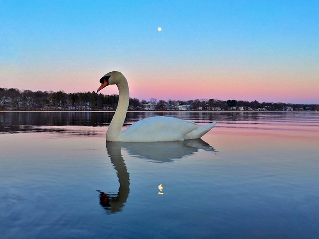 Swan And Full Moon At Sunset