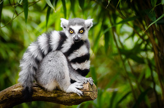 Ring-Tailed Lemur enjoying the nice spring weather | by Mathias Appel