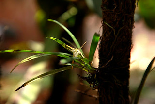 _MG_4766_Aeranthes aemula (Fleur et Feuilles)   by Ambatovygallery