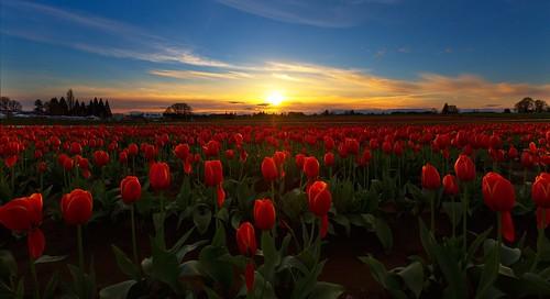 oregon woodburn tulipfarm