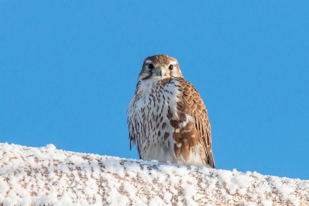 A frosty falcon