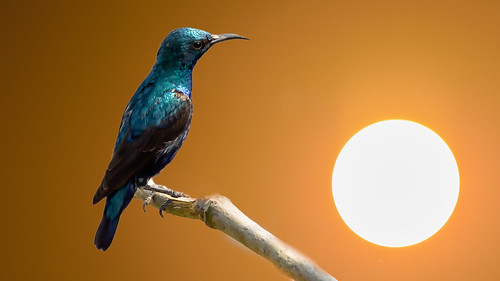 blue sunset orange brown india black male green bird nature animal yellow composite composition purple bokeh edited delhi perched newdelhi sunbird purplesunbird
