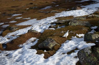 Ptarmigan pair on Ben Rinnes | by Nick Bramhall