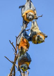 Rosalind park Bendigo Bats