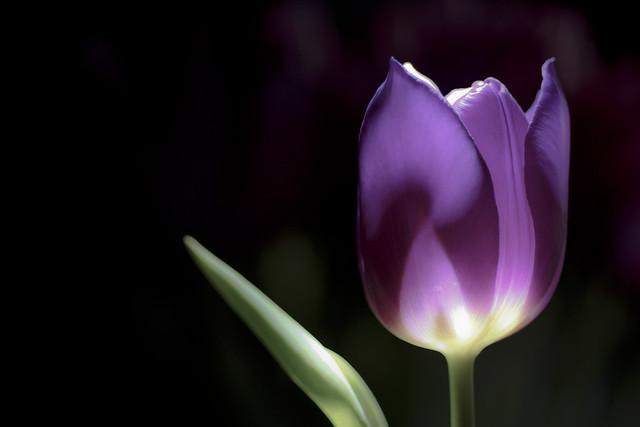 24 of 100 - Tulip